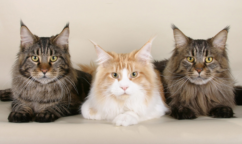 free-surgery-vaccines-northern-ky-cats